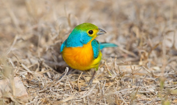 The birds feed on seeds in the winter and insects in the summer, and have correspondingly smaller bills than most cardinalids.