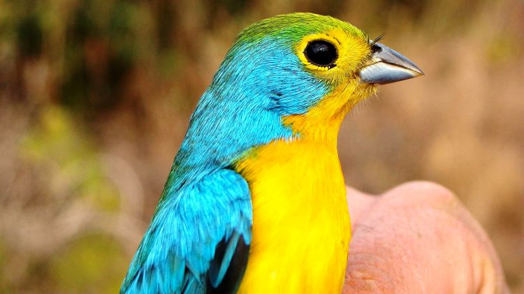 The bird's population trend appears to be stable, and hence the species is evaluated as Least Concern.