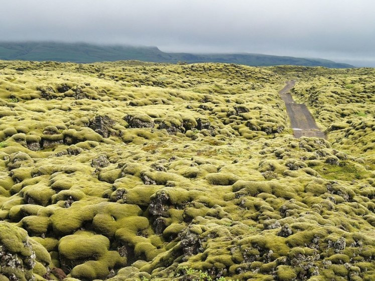 However, the southern coast of Iceland over Eldraun Lava field is one of the most remarkable moss blankets in Iceland.