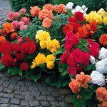 How to Grow Begonia or Tuberhybrida