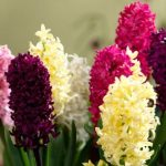 Learn How to Grow and Care Tips For Hyacinth Bulbs