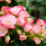 Grow Begonia with their Own Special Virtues