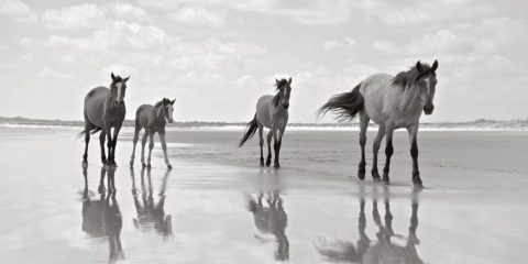 Cumberland Island has been a national park since 1972. The horses are the only herd in east coast America that aren't managed in any way by humans