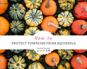 how to protect pumpkins from squirrels