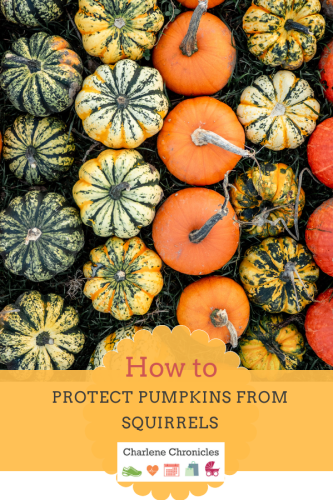 how to pumpkins squirrels prevention