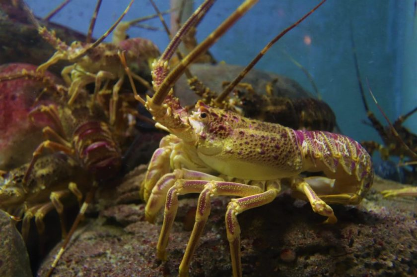 close up of lobster underwater
