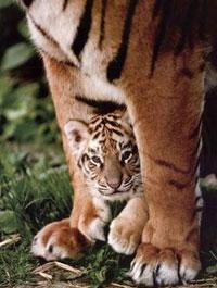 save-the-tigers-tigressa.jpg