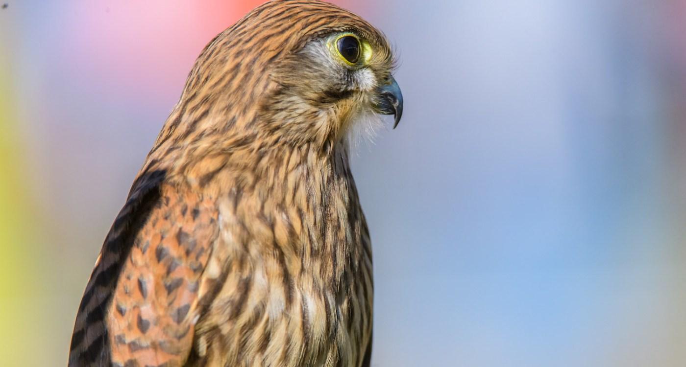 Birds of Prey Flight Demonstrations (2)