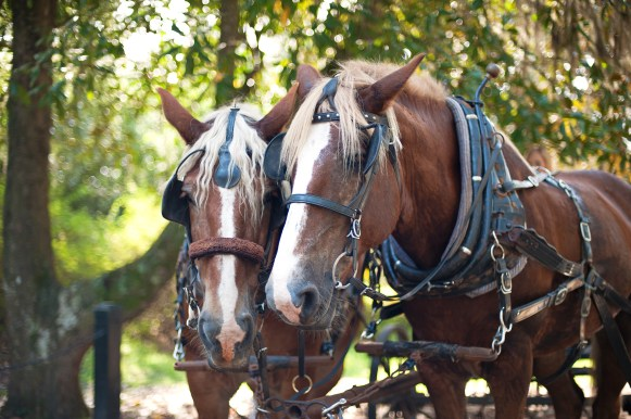 TROT BACK IN TIME at Middleton Place, where visitors may explore the sprawling grounds from the gentle pace of a horse-drawn carriage.