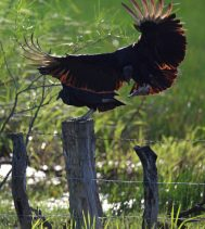 Dance of the Vulture!