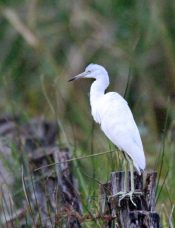 Pale Morph of Reddish Egret