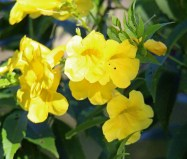 Yellow Bells (my name)