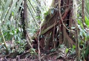 A Strangler Fig Tree Growing around another tree