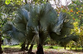 Palmetto Tree ?