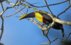 Yellow-throated Toucan