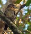 Streaked Flycatcher