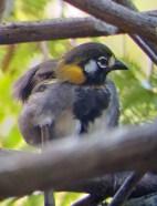 White-eared Ground Sparrow