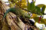Green Spiny Lizard, Curi-Cancha Reserve