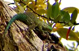 Green Spiny Lizard, Curi-Cancha Reserve