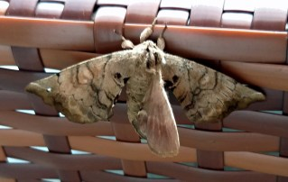 Unknown Moth at Lodge