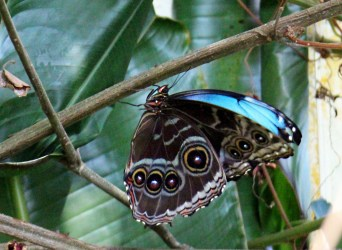 Blue Morpho at Lodge