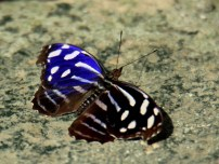 Whitened Bluewing at Lodge