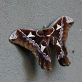 Four Windows Moth at Santa Elena