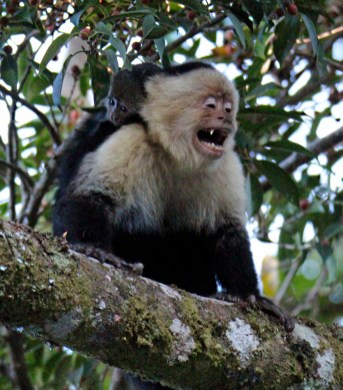 White-faced Capuchin Monkey, Monteverde Lodge & Gardens