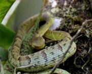 Side-striped Palm Pitviper, Monteverde Reserve