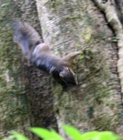 Deppe's Squirrel, Curi-Cancha Reserve