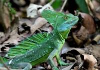 Emerald Basiisk