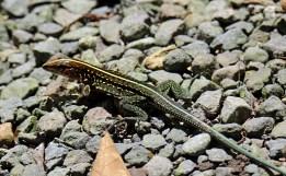 Central America Ameiva