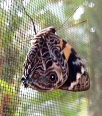 Bloomfield Beauty Butterfly
