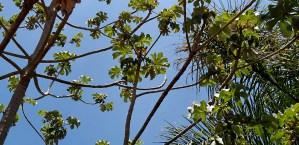 Open Limbs, Few Leaves