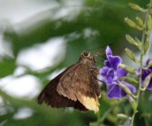 Yellow-rimmed Skipper