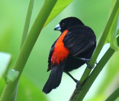 Male Scarlet-rumped Tanager