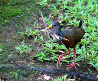 Gray-Cowled Woodrail Nest-building