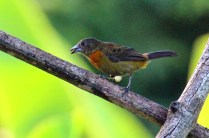 Scarlet-rumped Tanager Cherries Female