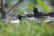Golden-hooded Tanagers Bathing