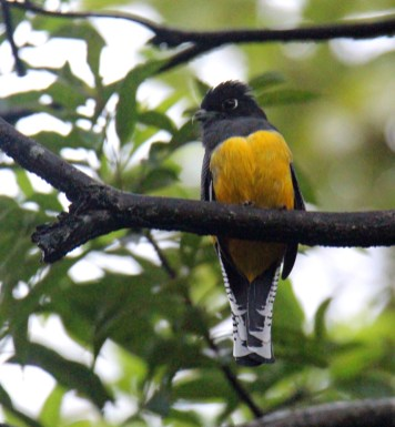 Gartered Trogon female