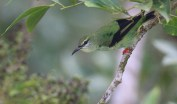 Non-breeding Red-legged Honeycreeper Male