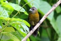 Scarlet-rumped Tanager Female