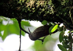 Spotted Woodcreeper Immature