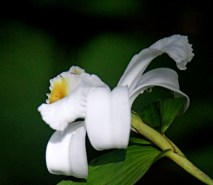 """Wild """"One Day"""" Orchid"""