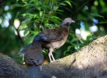 Gray-headed Chachalacas
