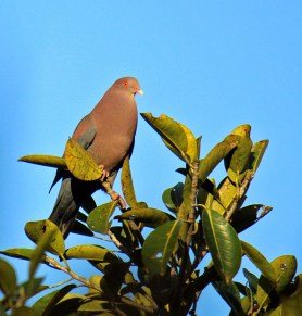 Red-billed Pigeons