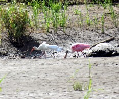 Roseate Spoonbill with a White Ibis & Snowy Egret