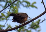 Clay-colored Thrush (dark version)