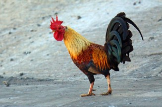 Domesticated Rooster