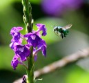 Green Orchid Bee on Porter Weed